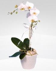 1 dallı orkide saksı çiçeği  Kütahya internetten çiçek siparişi