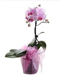 1 dal pembe orkide saksı çiçeği  Kütahya çiçek siparişi sitesi