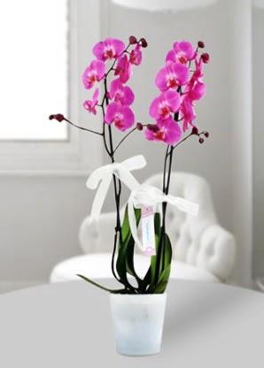 Çift dallı mor orkide  Kütahya yurtiçi ve yurtdışı çiçek siparişi