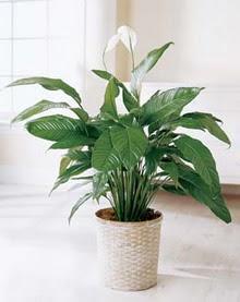 Kütahya İnternetten çiçek siparişi  spatilyum ithal büyük boy