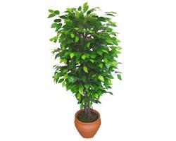 Ficus Benjamin 1,50 cm   Kütahya çiçek satışı