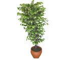 Ficus özel Starlight 1,75 cm   Kütahya çiçek gönderme sitemiz güvenlidir