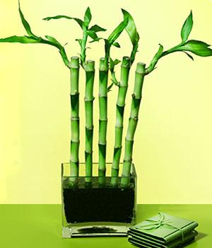 Kütahya çiçek satışı  Good Harmony Lucky Bamboo camda
