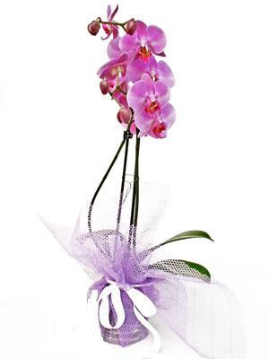 Kütahya çiçek satışı  Kaliteli ithal saksida orkide