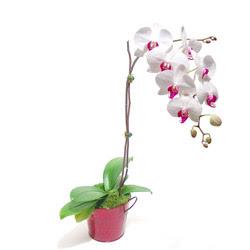 Kütahya uluslararası çiçek gönderme  Saksida orkide
