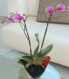 Kütahya çiçek mağazası , çiçekçi adresleri  tek dal ikili orkide saksi çiçegi