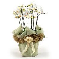 Kütahya kaliteli taze ve ucuz çiçekler  3 dal orkide , saksi çiçegi , 3 kök orkide