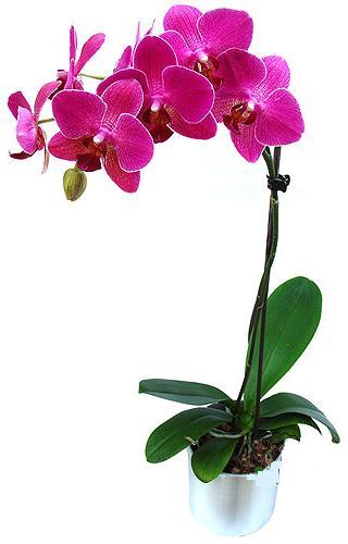 Kütahya çiçek mağazası , çiçekçi adresleri  saksi orkide çiçegi