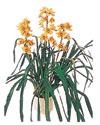 Kütahya yurtiçi ve yurtdışı çiçek siparişi  Orchiede ithal büyük boy saksi