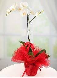 1 dal beyaz orkide saksı çiçeği  Kütahya çiçekçiler