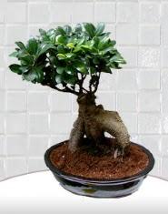 saksı çiçeği japon ağacı bonsai  Kütahya çiçek siparişi sitesi