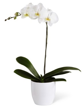 1 dallı beyaz orkide  Kütahya çiçekçi telefonları
