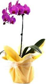 Kütahya kaliteli taze ve ucuz çiçekler  Tek dal mor orkide saksı çiçeği