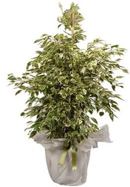 Orta boy alaca benjamin bitkisi  Kütahya güvenli kaliteli hızlı çiçek