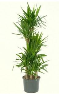 7 li yucca saksı bitkisi  Kütahya hediye çiçek yolla