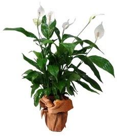 Orta boy barış çiçeği limon çiçeği  Kütahya online çiçekçi , çiçek siparişi