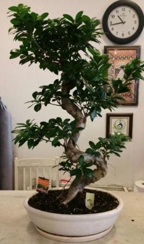100 cm yüksekliğinde dev bonsai japon ağacı  Kütahya online çiçek gönderme sipariş