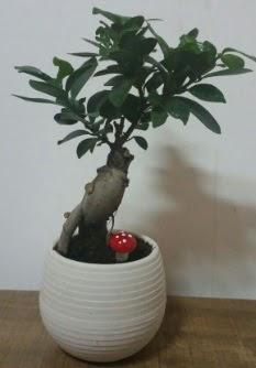 Bonsai japon ağacı saksı çiçeği  Kütahya cicek , cicekci