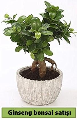 Ginseng bonsai japon ağacı satışı  Kütahya 14 şubat sevgililer günü çiçek