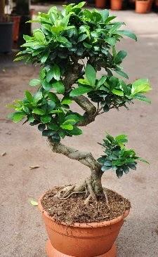 Orta boy bonsai saksı bitkisi  Kütahya online çiçekçi , çiçek siparişi