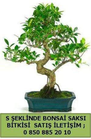 İthal S şeklinde dal eğriliği bonsai satışı  Kütahya uluslararası çiçek gönderme