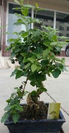 Bonsai japon ağacı saksı bitkisi  Kütahya çiçek yolla , çiçek gönder , çiçekçi