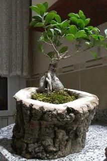 Ahşap kütük içerisinde ginseng bonsai  Kütahya online çiçekçi , çiçek siparişi