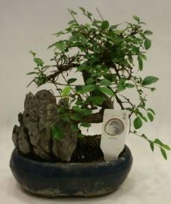 İthal 1.ci kalite bonsai japon ağacı  Kütahya anneler günü çiçek yolla