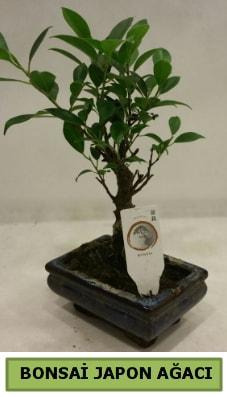 Bonsai japon ağacı saksı bitkisi  Kütahya hediye çiçek yolla