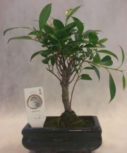 Bonsai japon ağacı bitkisi satışı  Kütahya cicek , cicekci