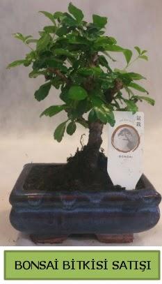 Bonsai ithal görsel minyatür japon ağacı  Kütahya çiçek online çiçek siparişi
