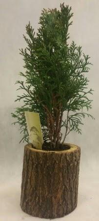 SINIRLI STOK Selvi Bonsai Doğal kütükte  Kütahya online çiçek gönderme sipariş