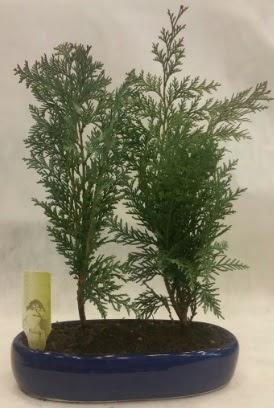 SINIRLI SAYIDA Selvi Ağacı bonsai ikili  Kütahya 14 şubat sevgililer günü çiçek