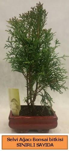 Selvi ağacı bonsai japon ağacı bitkisi  Kütahya anneler günü çiçek yolla