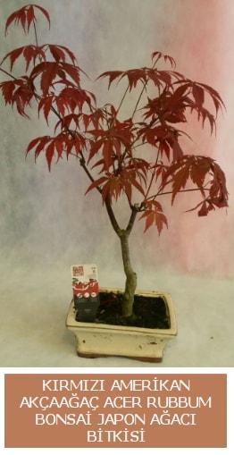 Amerikan akçaağaç Acer Rubrum bonsai  Kütahya çiçek gönderme