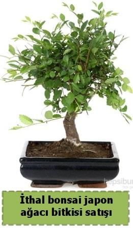 İthal bonsai saksı çiçeği Japon ağacı satışı  Kütahya online çiçek gönderme sipariş