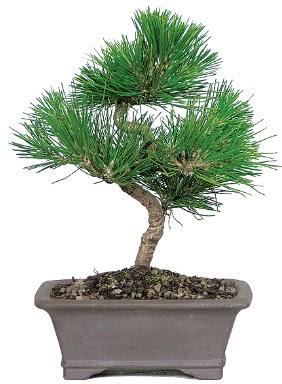 Çam ağacı bonsai japon ağacı bitkisi  Kütahya uluslararası çiçek gönderme