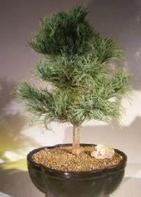 Çam ağacı bonsai bitkisi satışı  Kütahya çiçek online çiçek siparişi