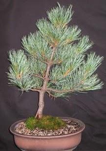 Bonsai çam ağacı japon ağacı bitkisi  Kütahya kaliteli taze ve ucuz çiçekler