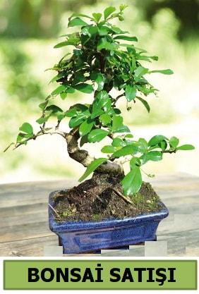 Çam bonsai japon ağacı satışı  Kütahya anneler günü çiçek yolla