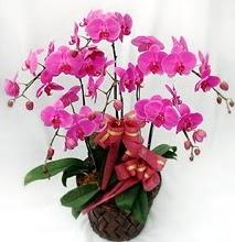 Sepet içerisinde 5 dallı lila orkide  Kütahya çiçek online çiçek siparişi
