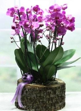 Kütük içerisinde 6 dallı mor orkide  Kütahya çiçek online çiçek siparişi