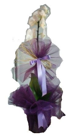 Tek dallı beyaz orkide süper kalite ithal  Kütahya kaliteli taze ve ucuz çiçekler