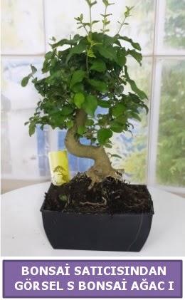 S dal eğriliği bonsai japon ağacı  Kütahya anneler günü çiçek yolla
