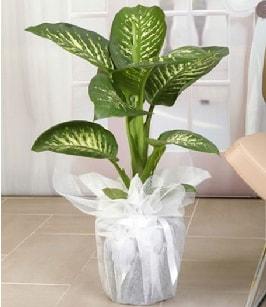 Tropik saksı çiçeği bitkisi  Kütahya anneler günü çiçek yolla