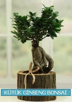Kütük ağaç içerisinde ginseng bonsai  Kütahya cicek , cicekci