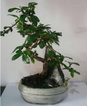 S şeklinde ithal bonsai ağacı  Kütahya cicekciler , cicek siparisi