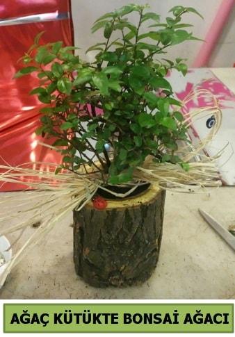 Doğal ağaç kütük içerisinde bonsai ağacı  Kütahya cicek , cicekci