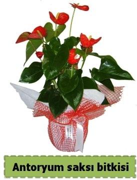 Antoryum saksı bitkisi satışı  Kütahya hediye sevgilime hediye çiçek