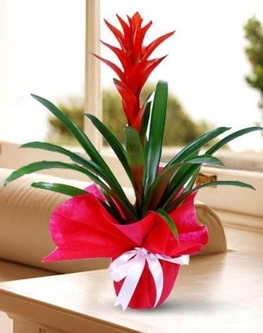 Guzmanya Saksı Çiçeği  Kütahya cicekciler , cicek siparisi